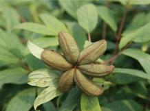 牡丹专用除草剂在山东向全国发货