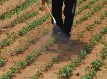 牡丹苗除草剂